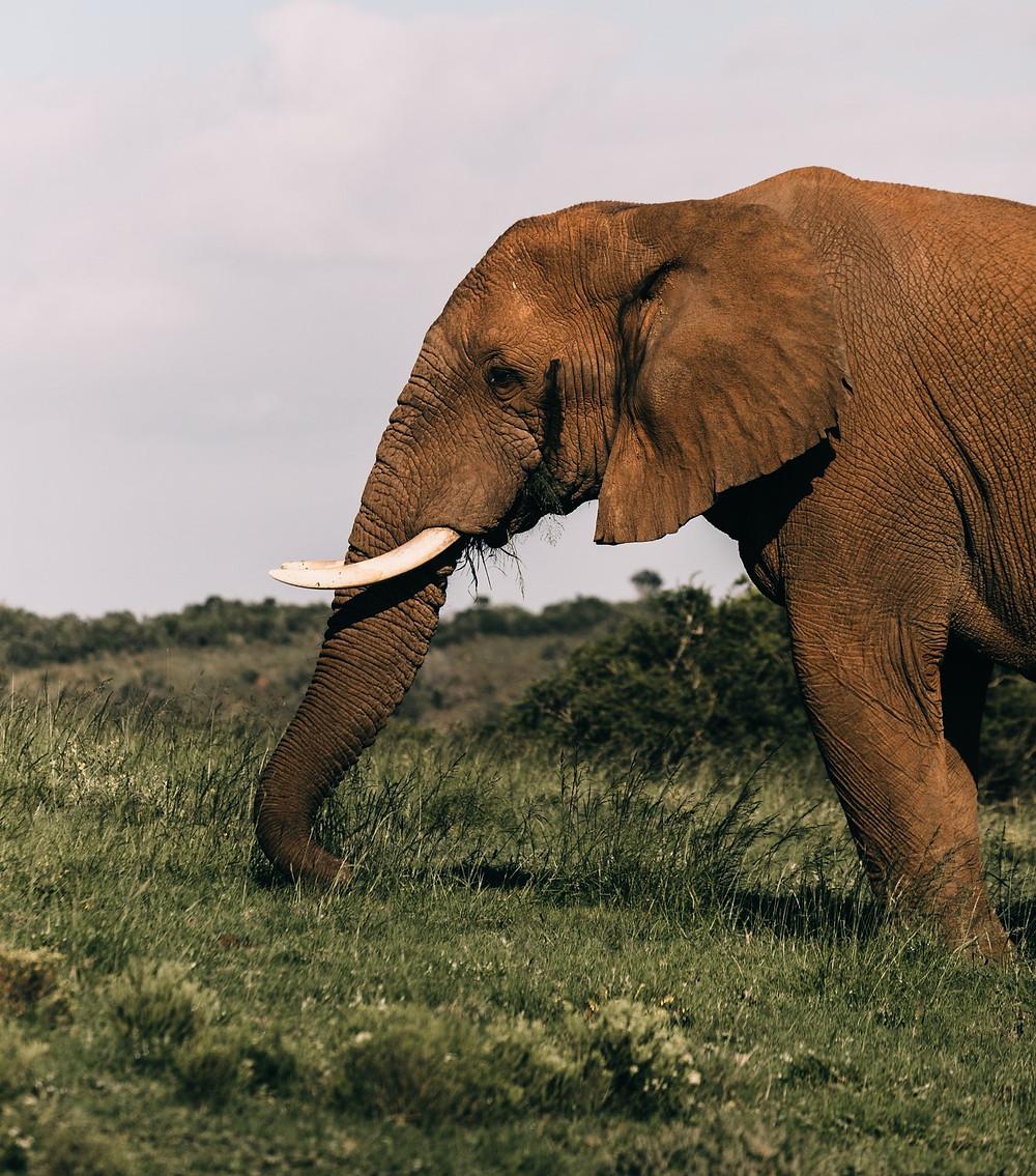 An elephant eating grass