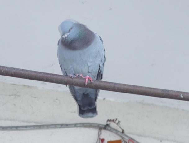鸽子漫(无声视频,10'35'').png