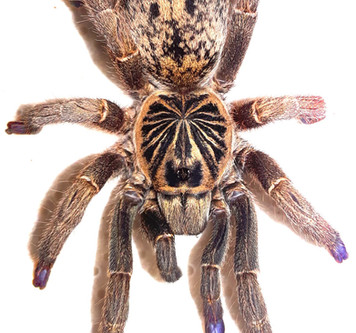 Quick photo shoot of this beautiful trap door tarantula called I.mira (Blue foot baboon)