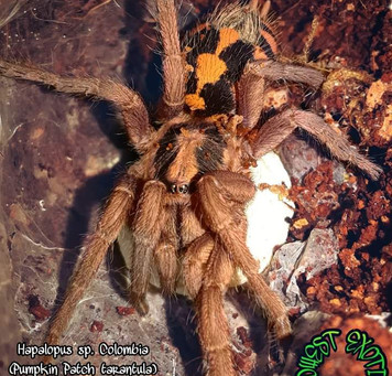 Hapolopus sp. Colombia large (pumpkin patch tarantula) with eggsac.