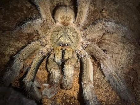 Psalmopoeus cambridgei (Trinidad chevron) spiderlings 🖤