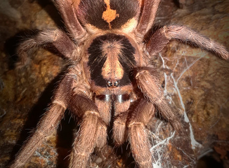 Wholesale lots of Hapalopus sp. Colombia (pumpkin patch tarantula) 2nd instar spiderlings