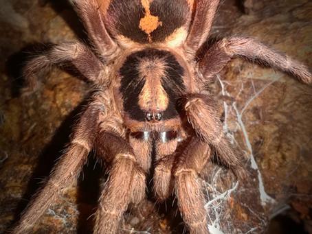Wholesale lots of Hapalopus sp. Colombia(pumpkin patch tarantula) 2nd instar spiderlings