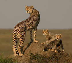 FAF Gold Medal - Nature -  Cheetahs Looking for Prey - Ian Whiston - Great Britain