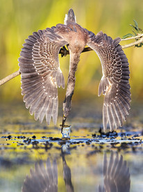 FAF Gold Medal - Nature - Azulada pescando - Andres Ruggeri - Argentina