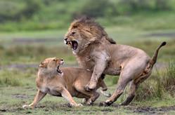 FIAP Gold Medal - Nature - Love fighting - Pierluigi Rizzato - Italia