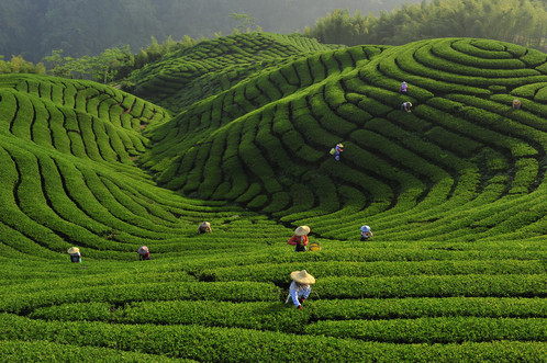 FIAP Gold Medal - Travel -Tea garden - Hsiu Lee - Taiwan