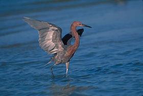 reddish-egret-bird-725x487.jpg