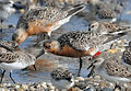 tagged-red-knot-on-coast-birds-calidris-