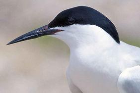 roseate-tern-bird-close-up-head-sterna-d