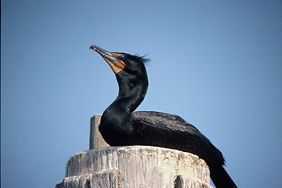 double-crested-cormorant-on-dock-piling-