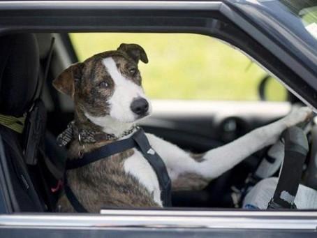 Trasporto cani in auto secondo la legge