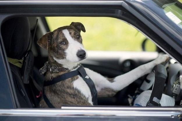 L'immagine raffigura un cane alla guida di un'automobile
