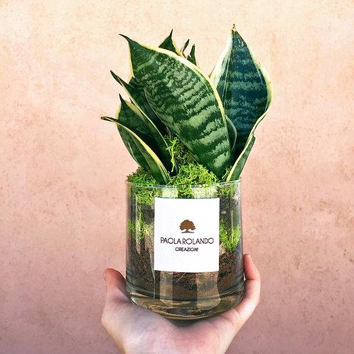 Sansevieria in vaso vetro D 10 cm x H 20 cm - Linea Amazzonia