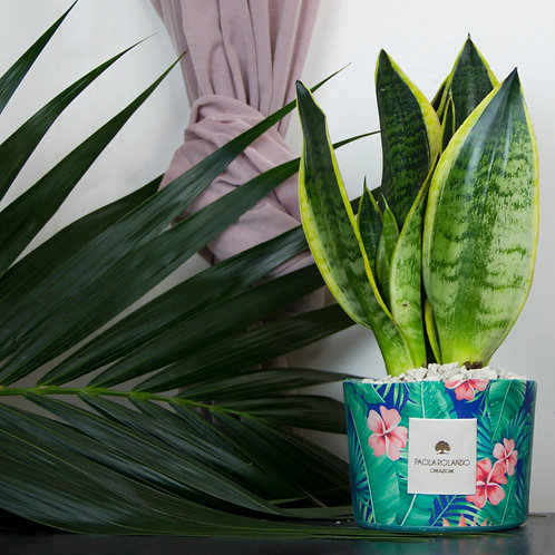 Sansevieria Limited Tropical 02