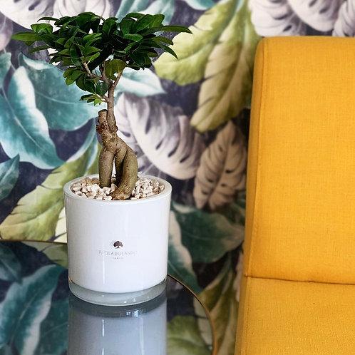 Bonsai in vaso vetro D 14 cm x H 35 cm  - Linea Sogno