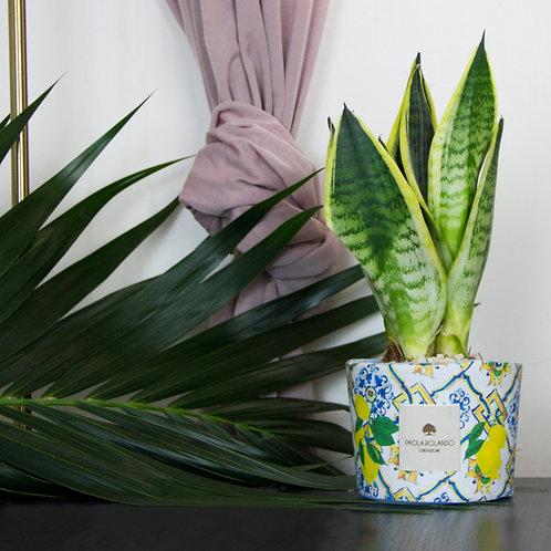 Sansevieria in vaso cemento D 14 cm x H 35 cm  - Linea Limited