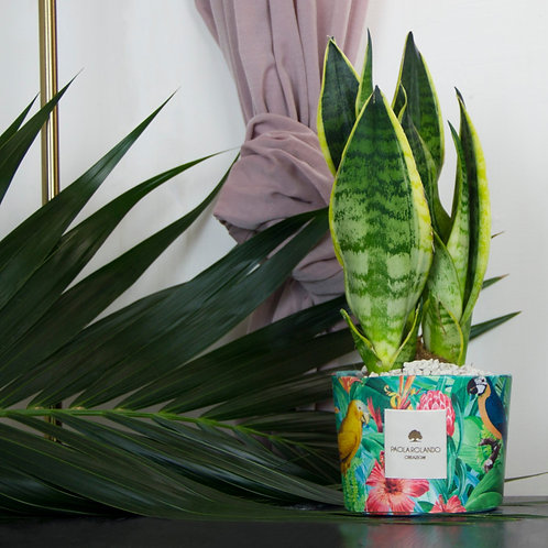 Sansevieria Limited Tropical 01