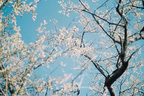 Almond Blossom, Botswana