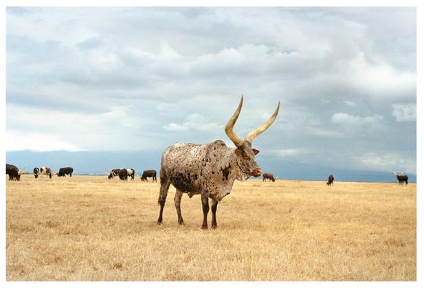 The Presidents Bull