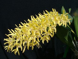 """Dendrobium speciosum var. Curvicaule """"Palmerstone"""""""