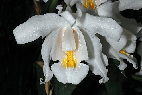 Coelogyne cristata(muy grandes)