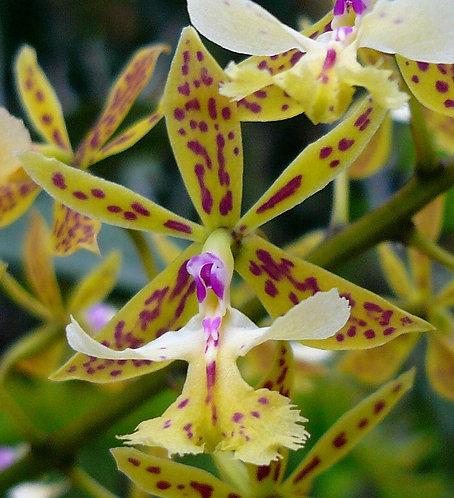 Epidendrum stamfordianum(planta joven)