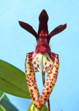 Bulbophyllumlasiochilum