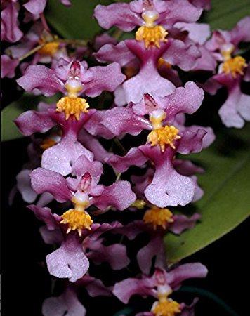 Oncidium ornithorynchum(muy perfumado)