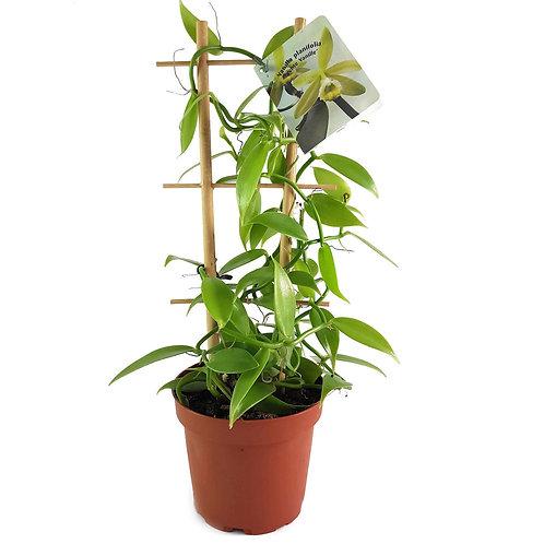 Vainilla planifolia(grande)