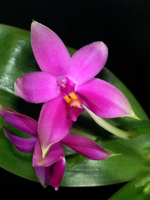 Phalaenopsis violacea Malasia