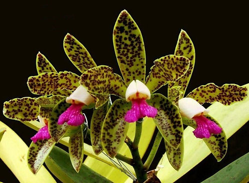 Cattleya guttata(planta joven)