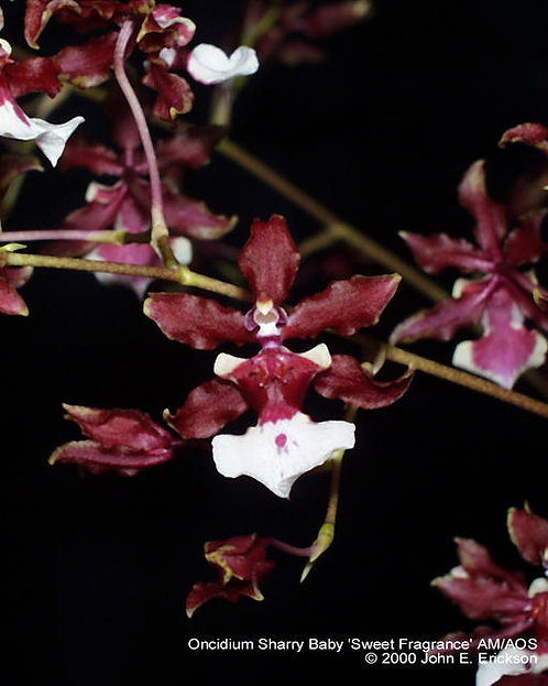 Oncidium Sharry Baby 'Sweet Fragrance'muy perfumad