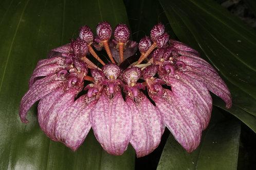 Bulbophyllum eberhartii