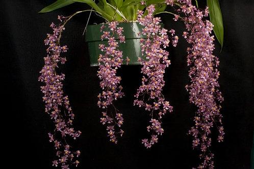 Oncidium ornithorynchum,muy perfumado