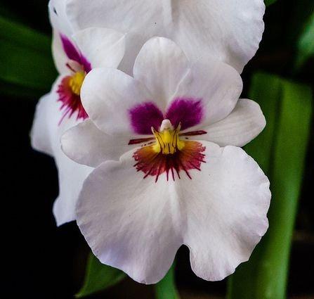 Miltoniopsis white