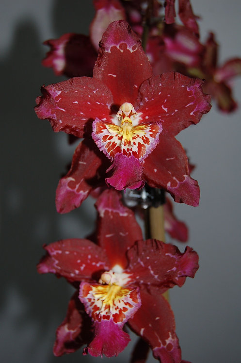Odontoglossum Purple Rain,en vara