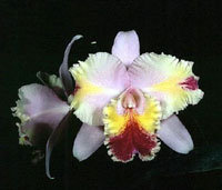 Cattleya Vishnu