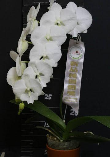 Phalaenopsis Yu Ping Lip'001',completamente blanca,labelo grande