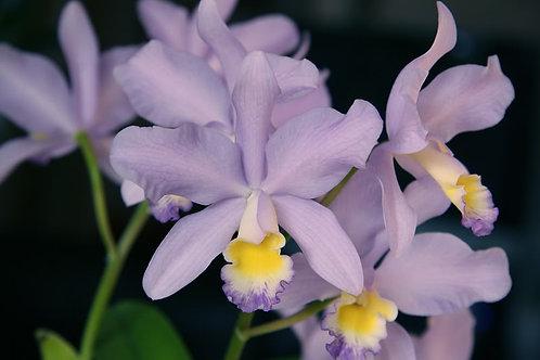 Cattleya minerva