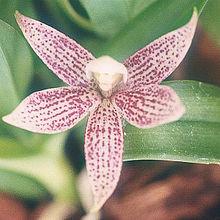 Epidendrum garcianum