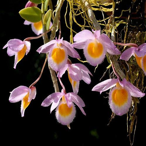 Dendrobium loddiguesii