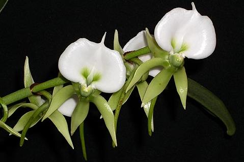 Angraecum eburneum 'Superbum'