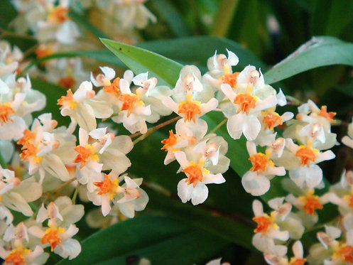 Oncidium Twinkle White(Perfumado)