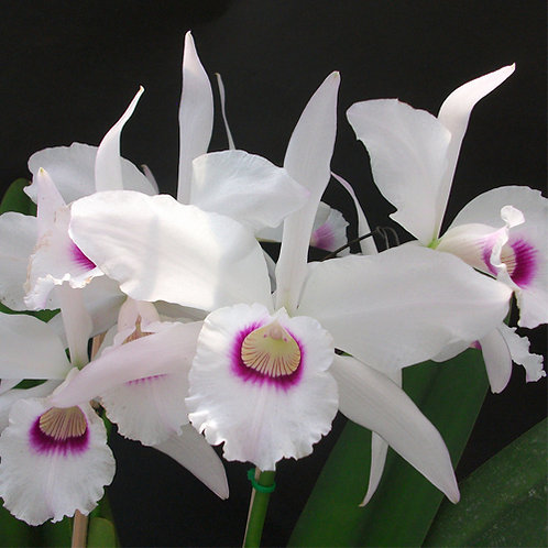 Laelia purpurata anelata(grandes)