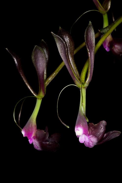 Epidendrum melanoporphyreum(planta joven)