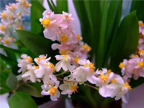 Oncidium Twinkle rose