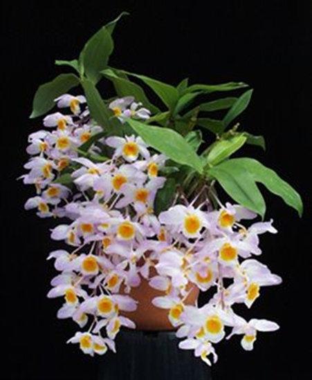 Dendrobium farmeri(planta joven)