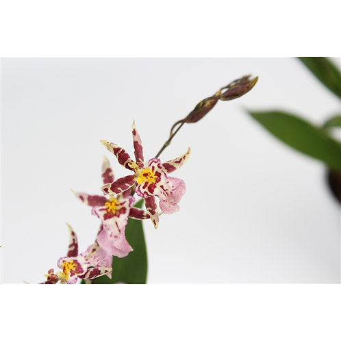 oncidium titanium treasure(red)