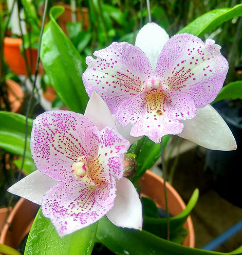 Caulocattleya Chantilly Lace 'Twinkle'